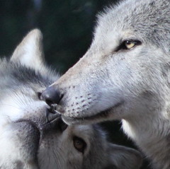 Grey Wolves (Gary's Photos!!) Tags: ireland irish dog eye dogs animal canon fur mammal nose photography eos grey photo big scary paw wolf foto fierce wildlife teeth gray bad conservation canine ear celtic endangered lupus breathtaking graywolf wolves gentle howl carnivore protected phoenixpark greywolf canis dublinzoo canislupus threatened chordata canidae 50d digitalcameraclub garywilson golddragon abigfave baileathcliath impressedbeauty diamondclassphotographer flickrdiamond platinumheartaward theperfectphotographer goldwildlife goldstaraward itsazoooutthere naturethroughthelens flickrlovers breathtakinggoldaward topqualityimagesonly vosplusbellesphotos photographersworldbestfriends