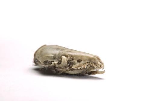schedel huisspitsmuis