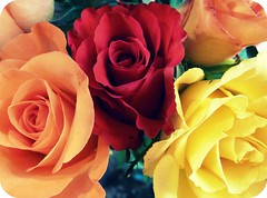 (OrangeCounty_Girl) Tags: life california flowers roses usa flower macro nature birds rose america outside petals spring lab colorful flickr yellowlab hummingbird kodak insects lizard socal corona ladybug southerncalifornia orangeco