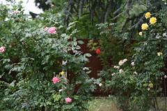 Unistus vanadest roosidest (anuwintschalek) Tags: roses summer home garden 50mm austria colours sommer may rosen garten 2009 niedersterreich farben kodu aed suvi roosid vrvid canoneos1000d