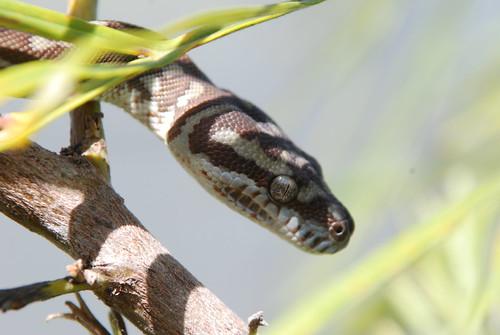 Centralian Carpet Python (Apophis)