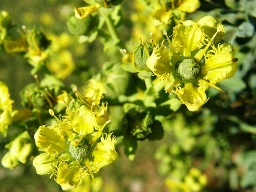 flores de ruda 3