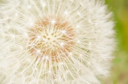 dandelion-artsy-3