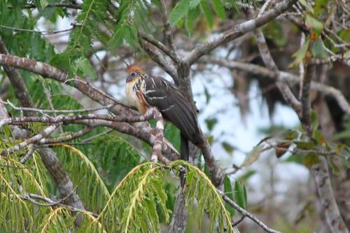 Huatzin or stinky bird