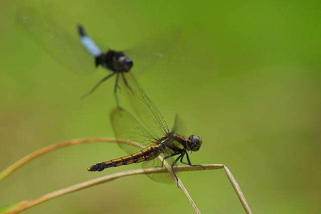 鼎脈蜻蜓 交尾結束