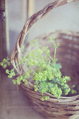 basket (carroll.mary (so behind I'll never catch up)) Tags: green texture soft basket country chartreuse dreamy alchemillamollis ladysmantle carrollmary kimklassentexture noddingvioletactions marycarrollphotographycom