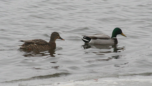 mallard breeding pair
