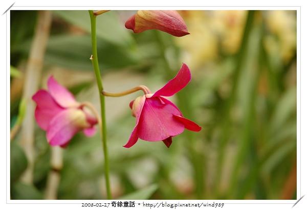 DSC_2593秋石斛