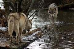 Hmmm who will let who pass? (tammyjq41) Tags: water indiana wolves tjs blueribbonwinner wolfpark supershot tjd animalkingdomelite
