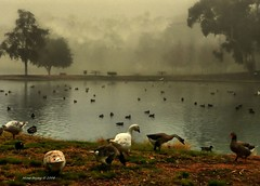 Just Foggy.... :) (Mine Beyaz) Tags: california mist bird birds fog geese bravo searchthebest goose sis brea kaz kus themoulinrouge kuslar firstquality 5photosaday 35faves abigfave platinumphoto anawesomeshot superaplus aplusphoto excellentphotographerawards theunforgettablepictures kazlar theperfectphotographer goldstaraward mailciler minebeyaz