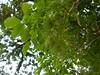 竹山鎮中和里救人老茄苳樹DSCN6043