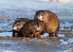Muskrats / Rats musqus (Eric Bgin) Tags: canada nature animal quebec wildlife olympus muskrat e500 naturesfinest sigma135400mm supershot specanimal sttimothee ericbegin goldstaraward ratsmusqus