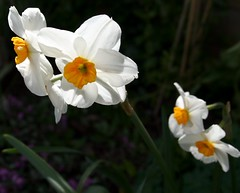 Like angels (Isabella Perry) Tags: flowers white garden angels narcissi naturesfinest blueribbonwinner