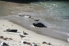 IMG_3722 (radek2166) Tags: ocean california trip bird birds la san pacific sandiego wildlife may diego lajolla pacificocean seal 2008 jolla
