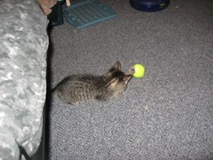11-24-07 495 (teribul_teri) Tags: cat play kittens cuties