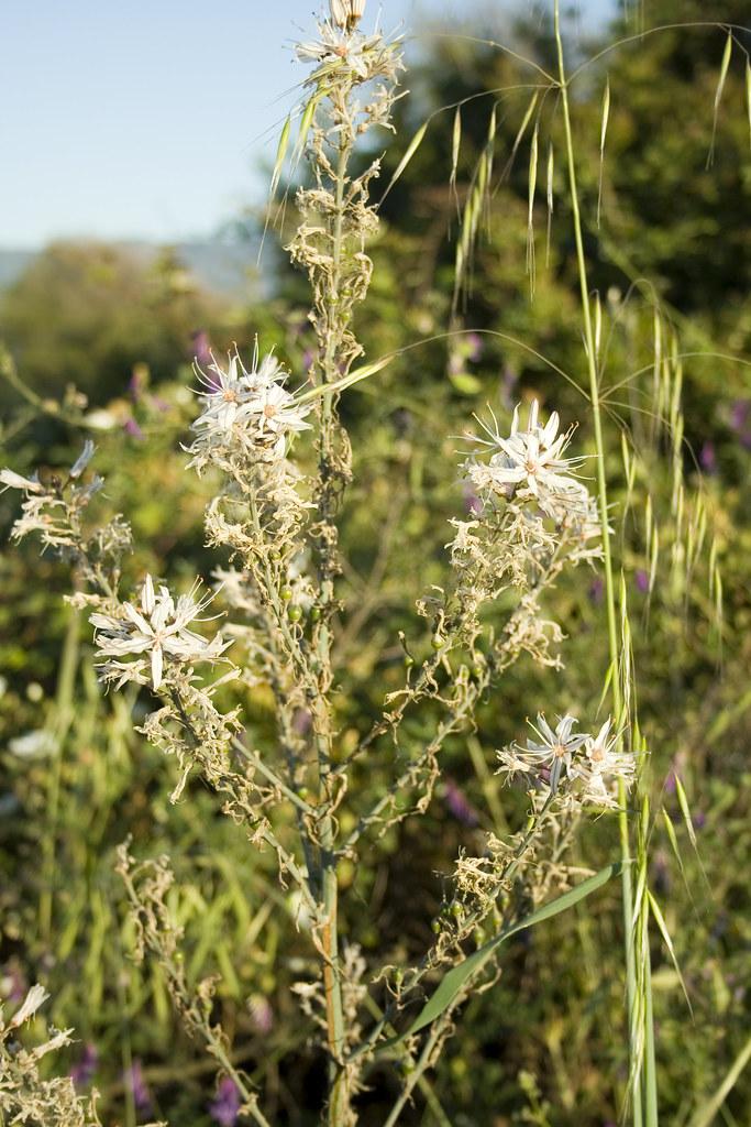 Fleurs du Liamone