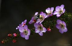 Bumblebee on Pink (raineys) Tags: california flower macro nature closeup bee bumblebee excellence naturesfinest specnature beautifulcapture raineys impressedbeauty ultimateshot