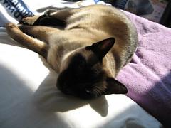 IMG_2367 (lemonkey) Tags: cat siamese chewie