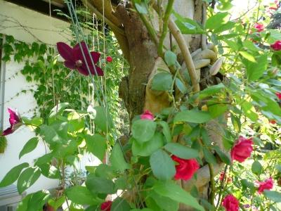 clematis dunkelrot mit rosen 1