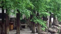 (digdog) Tags: garden shanghai redwood dragonboat 169 metasequoia yugarden dawnredwood metasequoiaglyptostroboides