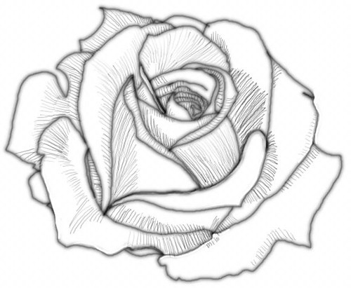 Gallery For gt White Roses Drawing