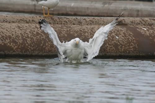 Seagull in Barcelona