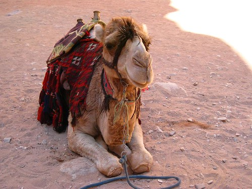 Cute Camel o/s The Treasury, Petra