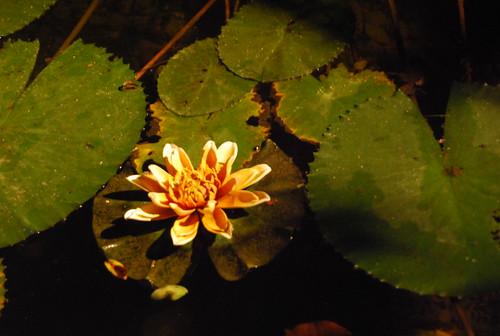 lotus up close