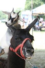 alpacagoat