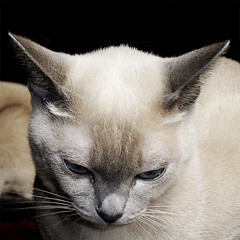 ... thoughts ... (bludainumeri) Tags: cats cat thoughts tonkinese gatto bej mywinners ysplix goldenheartaward catnipaddicts boc0708