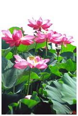Lotus 20080712 #04