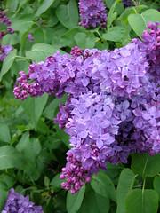 Lilacs (deu49097) Tags: lilacs
