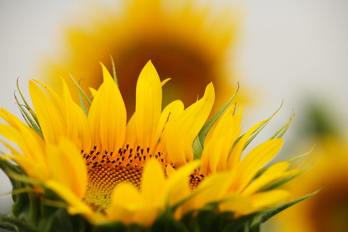 Sunflower =)