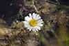 Salutandoti... affogo. (angy84) Tags: lake flower water fleur lago eau lac daisy fiore acqua margherita valdaosta affogo affogare annegare salutandotiaffogo annego