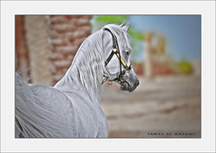 Arabian Horse (Fawaz Al Nashmi) Tags: horse art animal photo kuwait arabian stallion fawaz   funzy        alnashmi  funzyclick