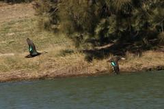 Two black ducks flying (kasia-aus) Tags: bird nature water animal australia canberra 2008 act blackduck lakeginninderra pacificblackduck anassuperciliosa