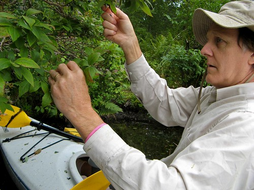Bill picking blueberries from kayak