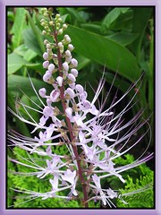 A mauve/lavender variety of Orthosiphon stamineus/aristatus (Cat's Whiskers, Misai Kuching) in our neighborhood