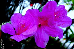 Azaleia (L.Rodrigo - Papagaio ) Tags: flores flor luis rodrigo papagaio teresopolis lilas azaleia