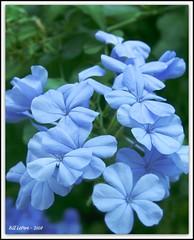 Plumbago (bill.lepere) Tags: blue flower garden florida lakeland plumbago onlythebestare novaphoto blepere