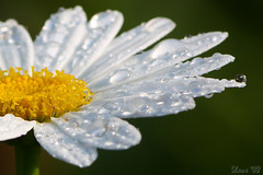 Rain Drops On A Daisy (Shane_A) Tags: flower rain georgia drop daisy soe raindrop naturesfinest supershot mywinners abigfave ultimateshot citrit picturefantastic theperfectphotographer goldstaraward tullulahfalls