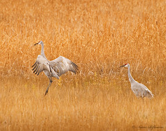 Crane Dance (Woody 50) Tags: fall nature grass birds reeds outdoors nikon idaho cattails marsh d200 avian sandhillcranes wildlifepreserve