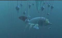 reef glider babosa