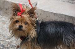 Un petit chien (Mrs eNil) Tags: summer hairy dog chien france nikon europe august terrier yorkshireterrier 2008 lauzerte d40 nikond40 august2008 sillyribbon