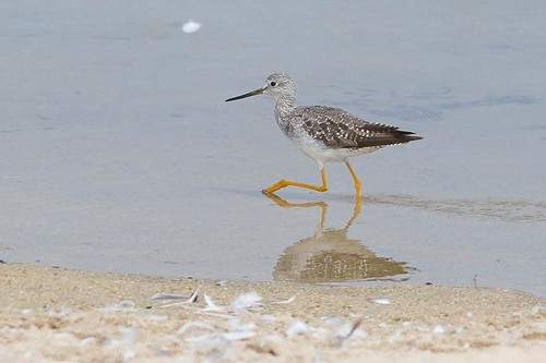 Greater Yellowlegs by you.