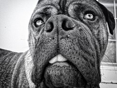 Dazed (scottspy) Tags: blackandwhite bw pets cute dogs animals funny mastiff confused stare blackwell bullmastiff largebreed blackmask scottspy