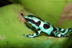 Poison Dart Frog dendrobates-auratus Costa Rica 1.5 centimetres (0.59 in) - Costa Rica Pictures (Luis Angel Espinoza) Tags: pictures costa picture rica anawesomeshot