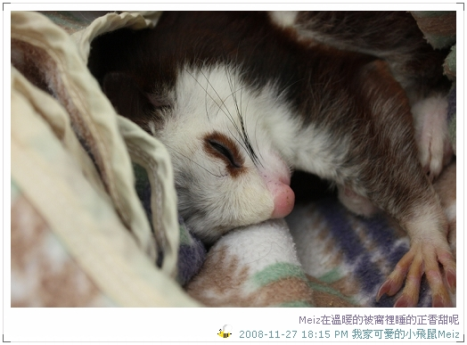 2008年11~12月份小飛鼠Meiz的生活照 (2)