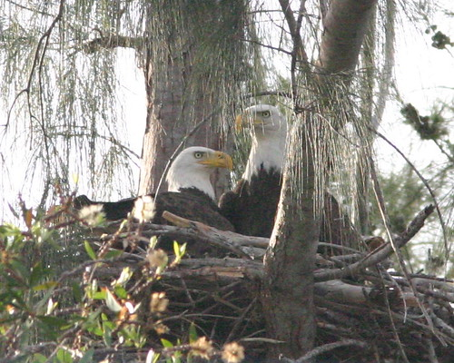 Eagle Pair at Nest 20081211