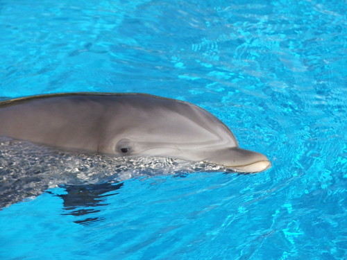 Dolphin in Siegfried & Roy's Secret Garden and Dolphin Habitat at the Mirage Las Vegas